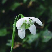 """Teltvirágú hóvirág (Galanthus nivalis """"flore plena"""" - Double Snowdrop) Bailey virágeszencia 10ml."""
