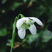 Double Snowdrop Bailey flower essence 10ml.