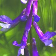 Szöszös bükköny (Vicia villosa - Dwarf Purple Vetch) Bailey virágeszencia 10ml.