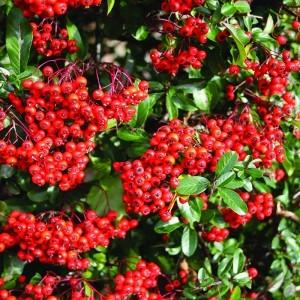 Tűztövis (Pyracantha atalantioides – Firethorn) Bailey virágeszencia 10ml.