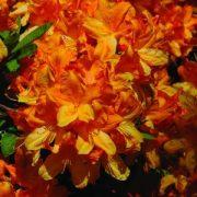 Havasszépe (Rhododendron calendulaceum - Flame Azalea) Bailey virágeszencia 10ml.