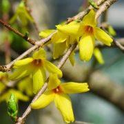 Aranyfa (Oleacea intermedia – Forsythia) Bailey virágeszencia 10ml.