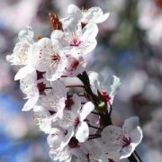 Fudzsi cseresznye (Prunus incisa – Fuji Cherry) Bailey virágeszencia 10ml.