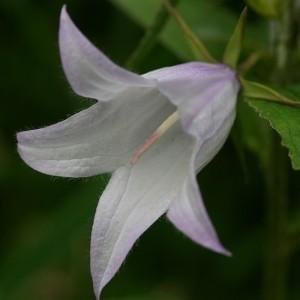 Széleslevelű harangvirág (Campanula latifolia - Giant Bellflower) Bailey virágeszencia 10ml.