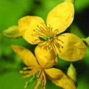 Vérehulló fecskefű (Chelidonium majus - Greater Celandine) Bailey virágeszencia 10ml.
