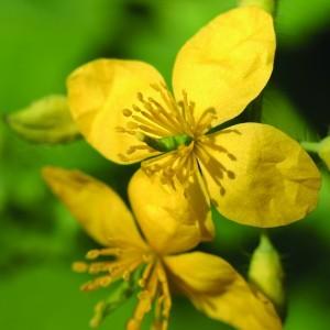 Greater Celandine Bailey flower essence 10ml.