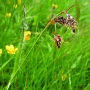 Mezei perjeszittyó (Luzula campestris - Hairy Sedge) Bailey virágeszencia 10ml.