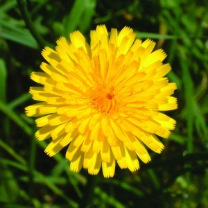 Hawkweed Bailey flower essence 10ml.