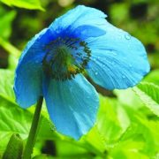 Nagyvirágú tibetimák (Meconopsis grandis - Himalayan Blue Poppy) Bailey virágeszencia 10ml.