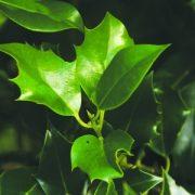 Holly Leaf Bailey flower essence 10ml.