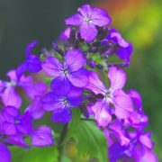 Kerti holdviola (Lunaria annua – Honesty) Bailey virágeszencia 10ml.