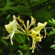 Búbos lonc (Lonicera periclymenum – Honeysuckle) Bailey virágeszencia 10ml.