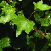 Borostyán (Hedera helix – Ivy) Bailey virágeszencia 10ml.