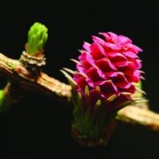 Vörösfenyő (Larix decidua – Larch) Bailey virágeszencia 10ml.