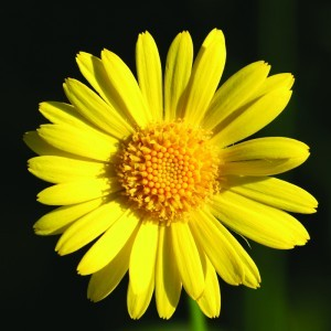 Leopardsbane Bailey flower essence 10ml.