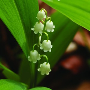 Lily of the Valley Bailey flower essence 10ml.