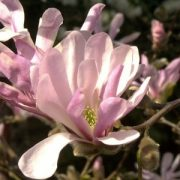 "Japán liliomfa (Magnolia x loebneri ""Leonard Messel"" - Magnolia) Bailey virágeszencia 10ml."