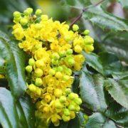 Közönséges mahónia (Mahonia aquifolium – Mahonia) Bailey virágeszencia 10ml.