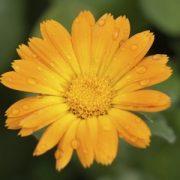 Körömvirág (Calendula officinalis – Marigold) Bailey virágeszencia 10ml.