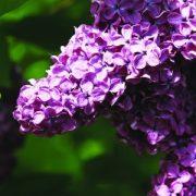Orgona (Syringa vulgaris – Lilac) Bailey virágeszencia 10ml.