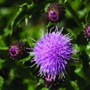Mocsári aszat (Cirsium palustre - Marsh Thistle) Bailey virágeszencia 10ml.