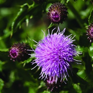 Marsh Thistle Bailey flower essence 10ml.