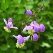 Borkóró (Thalictrum dipterocarpum – Meadow rue) Bailey virágeszencia 10ml.