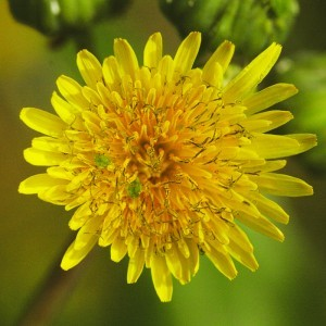 Mezei csorbóka (Sonchus arvensis – Milk Thistle) Bailey virágeszencia 10ml.