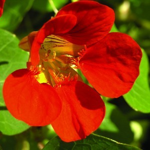 Nasturtium Bailey flower essence 10ml.