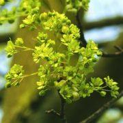 Korai juhar (Acer platinoides – Norway Maple) Bailey virágeszencia 10ml.