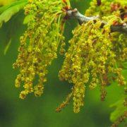 Tölgyfa (Quercus robur – Oak) Bailey virágeszencia 10ml.