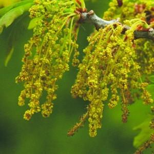 Oak Bailey flower essence 10ml.