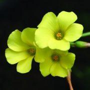 Fokföldi madársóska (Oxalis pes-caprae – Oxalis) Bailey virágeszencia 10ml.