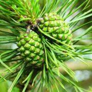 Fenyőtoboz (Pinus silvestris – Pine Cones) Bailey virágeszencia 10ml.