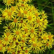 Aggófű (Senecio jacobaea -  Ragwort) Bailey virágeszencia 10ml.