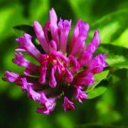 Réti here (Trifolium pratense – Red Clover) Bailey virágeszencia 10ml.