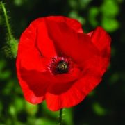 Pipacs (Papaver rhoeas – Red Poppy) Bailey virágeszencia 10ml.