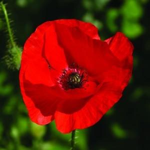 Red Poppy Bailey flower essence 10ml.