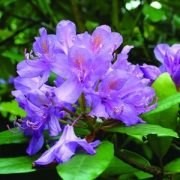 Örmény havasszépe (Rhododendron ponticum – Rhododendron) Bailey virágeszencia 10ml.