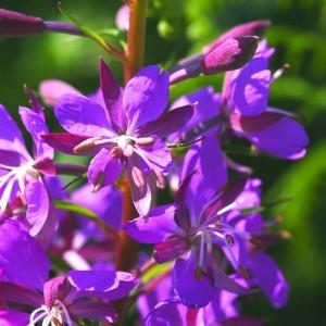 Erdei füzike (Chamaenerion angustifolium - Rosebay Willowherb) Bailey virágeszencia 10ml.
