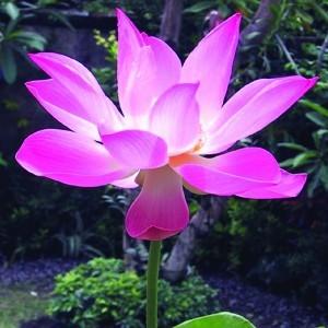 Indiai lótusz (Nelumbo nucifera – Sacred Lotus) Bailey virágeszencia 10ml.