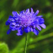 Mezei varfű (Knautia arvensis – Scabious) Bailey virágeszencia 10ml.