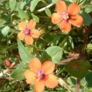 Mezei tikszem (Anagallis arvensis - Scarlet Pimpernel) Bailey virágeszencia 10ml.