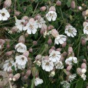 Tengerparti habszekfű (Silene maritima - Sea Campion) Bailey virágeszencia 10ml.