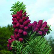 Szerb lucfenyő (Picea omorica - Siberian Spruce) Bailey virágeszencia 10ml.