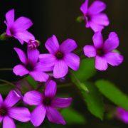 Gyepes szappanfű (Saponaria ocymoides – Soapwort) Bailey virágeszencia 10ml.