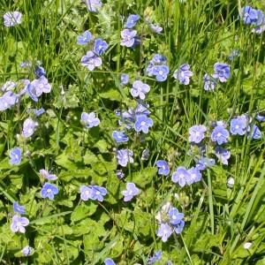 Ösztörűs veronika (Veronica chamaedrys - Speedwell) Bailey virágeszencia 10ml.