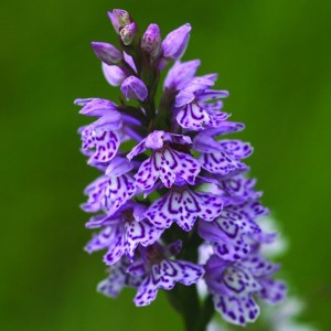 Spotted Orchid Bailey flower essence 10ml.