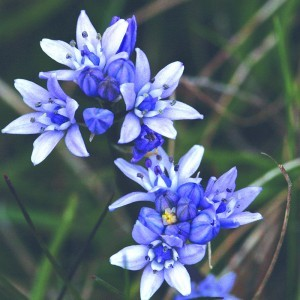 Spring Squill Bailey flower essence 10ml.
