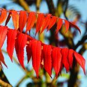 Ecetfa (Rhus typhina L. - Sumach) Bailey virágeszencia 10ml.
